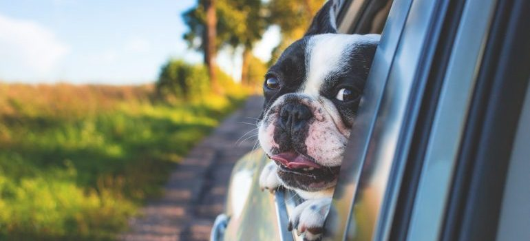 A dog looking out a car window.
